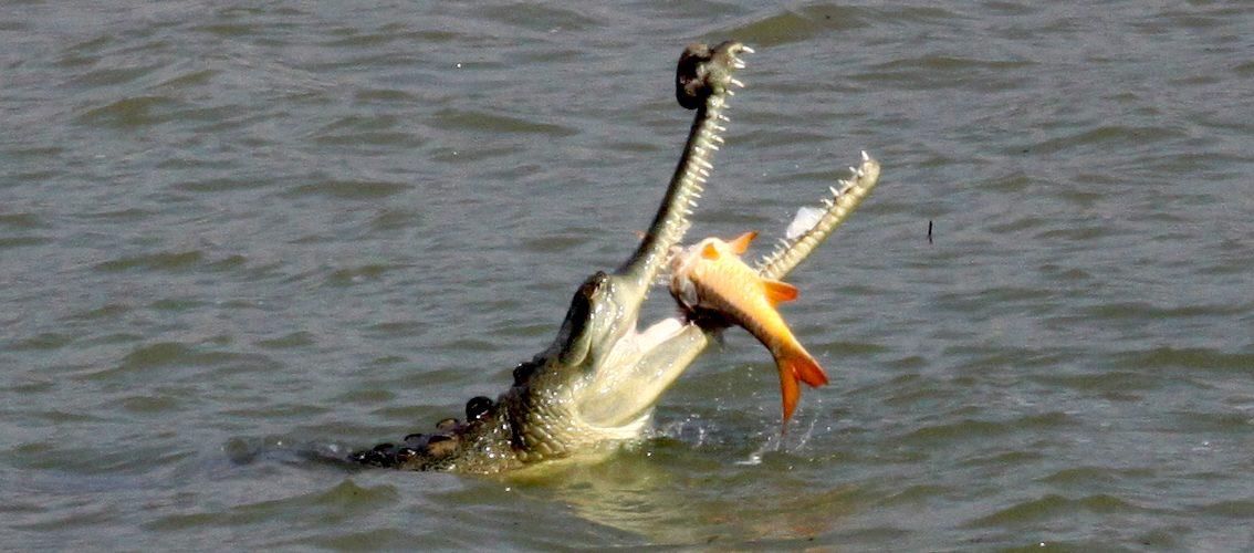 Gavial krokodille