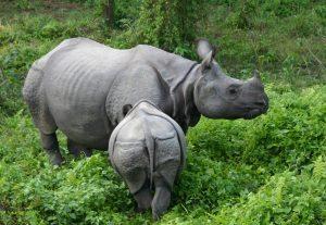 Information om Nepal -Næsehorn, Bardia nationalpark, Nepal