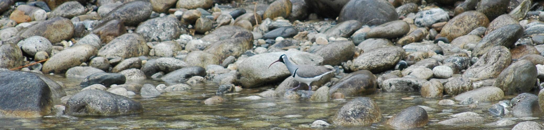 Ibisfugl i Nepal