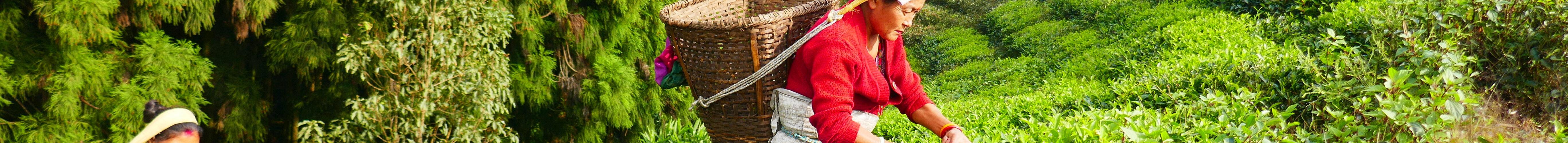 Teplantage i Nepal
