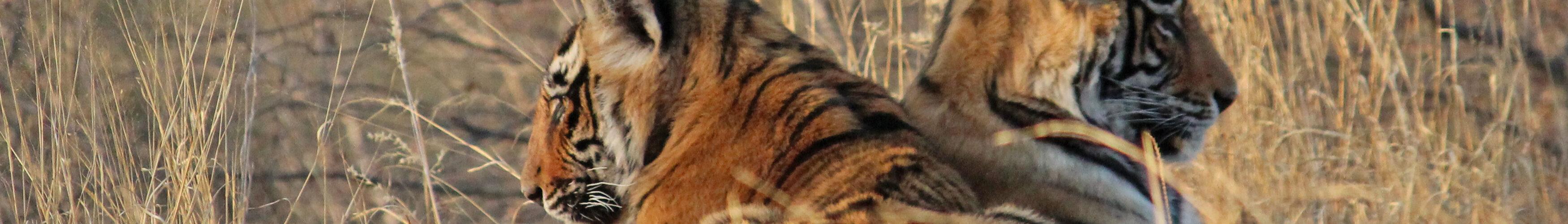 Tigerunger i Ranthambhore