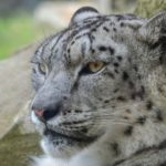 Safari i Nepal - Nepals kattedyr tæller nu 12 arter